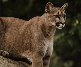Puma silvestre deambula por las calles de Chile en plena contingencia por coronavirus
