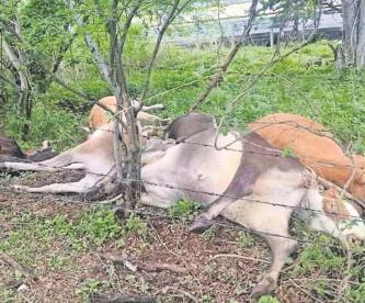 Para evitar que no invadieran la México-Acapulco, Guardia Nacional mata a tiros a seis vacas