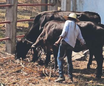 Delincuentes se roban vacas en Morelos y se las llevan en taxis, pero se les mueren
