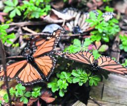 Mariposa Monarca Ejidatarios Protegen Toluca