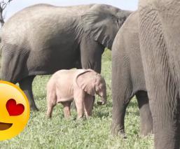Captan elefantito rosa Sudáfrica