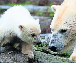 Osito polar hace gran aparición luego de estar al borde de la muerte, en Alemania