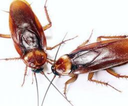 Investigadores del IBE esterilización genética cucarachas