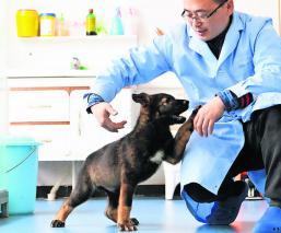 autoridades chinas clonan mejor perro policía