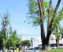 Sin proceder denuncias de tala ilegal de árboles, en Metepec