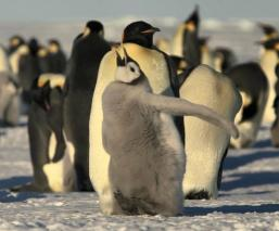 Pingüino emperador en peligro Deshielo Antártida