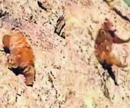 Difunden video de un oso siendo apedreado y causa indignación