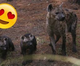 Anuncian el primer nacimiento de hienas moteadas en el Zoológico de Chapultepec