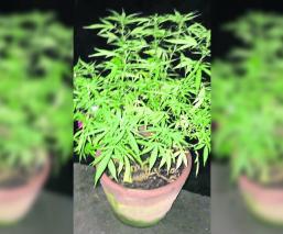 Denuncian a su vecino por cultivar consumir y vender marihuana en Cuernavaca