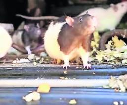 Mujer ratas carro
