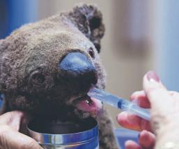 Colonia de Koalas incendio