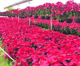 Morelos lidera la producción de Nochebuenas en todo el país