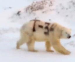 Oso polar mensaje pintado