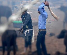 Ritual búfalos decapitados
