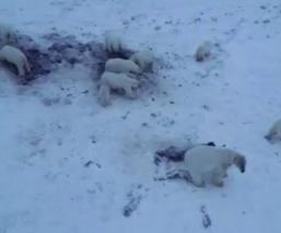 Osos polares cadáveres morsas