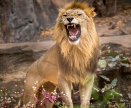 león escapa come hombre