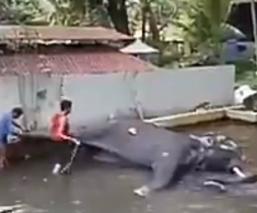 Difunden desgarradoras imágenes de elefante gimiendo de dolor tras brutales azotes