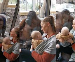 Conmueve video del encuentro entre una orangután que perdió a su cría y una mamá con su bebé