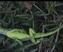 bajas temperaturas iguanas congeladas