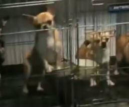 Rescatan a 270 perritos en España, les cortaron las cuerdas vocales para que no ladraran