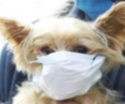 Investigan posible caso de coronavirus en perro de Hong Kong