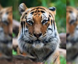 Tigres del zoológico de Bronx en Nueva York dan positivo a exámenes de coronavirus