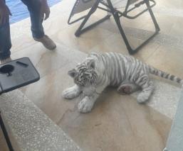 Protección Civil de Querétaro devuelve Tigre Blanco a dueños tras mostrar documentos
