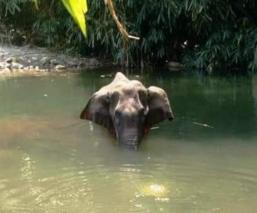 Muere elefanta embarazada tras comer piña con explosivos adentro, en una aldea de la India