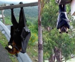 Toman foto a aterrador murciélago gigante y la verdad sobre su existencia sale a la luz