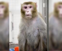 Científicos en China descubren inmunidad contra el Covid-19 en los monos macacos rhesus