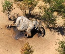 Mueren misteriosamente cerca de 350 elefantes en África; esto es lo que se sabe