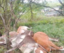 Justicia para vacas que fueron asesinadas por Guardia Nacional, dueño denuncia formalmente