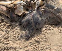 Hallan restos putrefactos de misteriosa criatura en Inglaterra, aseguran que es extraterrestre