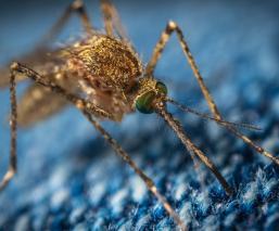 Pandemia de Covid-19 aumenta el riesgo de morir por enfermedades trasmitidas por mosquitos