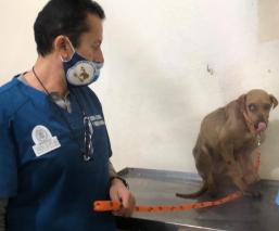 Centro de Control y Bienestar Animal rescata a 'Huesos' de una vida de maltrato, en Edomex