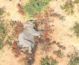 Descubren la causa de la muerte de 330 elefantes en Botsuana