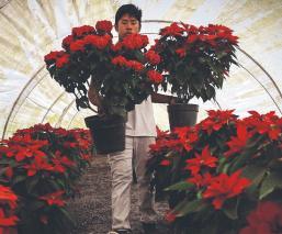 Floristas poblanos esperan poder vender 150 mil flores de nochebuena, pese a pandemia
