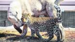 Milasha Leoparda Vida Perruna