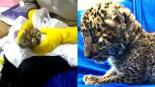 cachorro leopardo equipaje viral