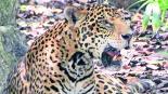 Mamá jaguar devora cachorro in vitro Brasil