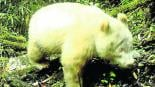 Video panda albino Reserva Natural Nacional Wolong