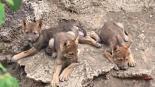 Nacen tres ejemplares de lobo gris mexicano en el Museo del Desierto de Saltillo
