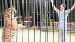 Tigres atacan juegan y matan a su domador