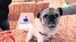 Rescatan a perro pug que era obligado a beber alcohol y consumir droga