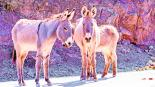 asesino de burros en EU ofrecen recompensa