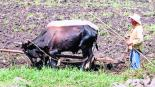 Producción maíz sorgo Morelos sequía