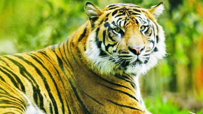 Matan a tigre que escapó de un circo y deambuló por París