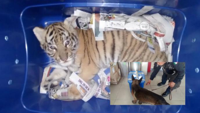 Rescatan cachorro de tigre de bengala; pretendían enviarlo por paquetería