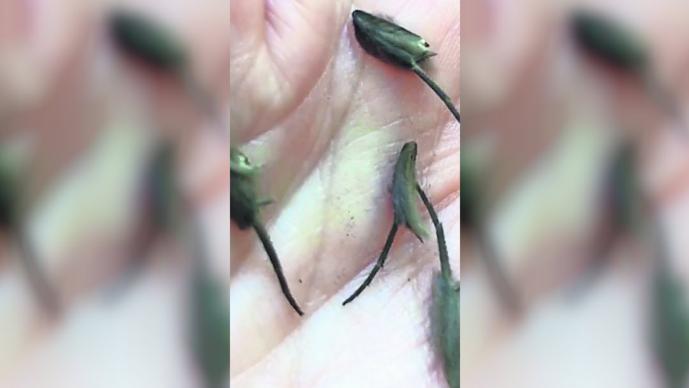 insectos rata, raros insectos, joven encuentra, Auckland