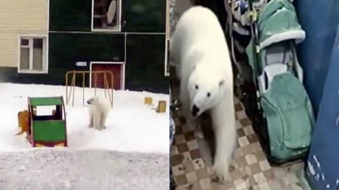osos polares invasión rusia emergencia